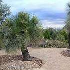 Grass Trees at Cranbourne Gardens