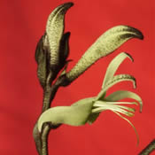 Kangaroo Paw - Gonndwana Wholesale Native Nursery